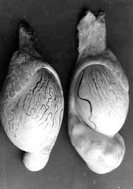 Comparison of normal and infected ram testicle